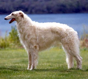 Oh, are you unfamiliar with the Borzoi? You must not be a member of the Russian aristocracy.